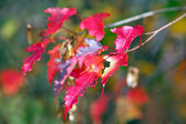 Branches of maple with red leaves in Autumn — Stock Photo