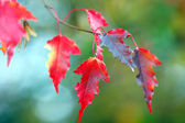 Branch of maple with red leaves in Autumn — Stock Photo