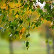Branches with birch leaves in Autumn — Stock Photo
