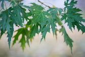 Maple leaves against the sky — Stock Photo