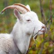 One goat in Autumn forest — Stock Photo