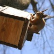 Stock Photo: Squirrel and birdhouse on the tree in spring