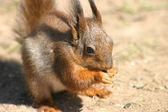 Little hungry squirrel — Foto Stock