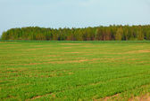 Spring green field of crops and grove — Stock Photo