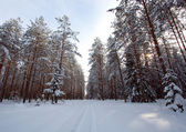 Winter forest with snow and sunlight — Stock fotografie