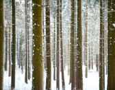 Pine trunks in winter forest as texture — Stok fotoğraf