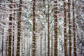 Pine trunks in winter forest as texture — Stock Photo