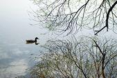 Die Ente schwimmt auf See im Frühling — Stockfoto