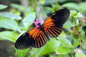 Doris Longwing Butterfly — Stock Photo