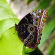 Blue morpho butterfly — Stock Photo #23251472