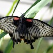 Scarlet Mormon butterfly — Stock Photo