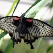 Scarlet Mormon butterfly — Stock Photo #23291924