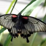 Scarlet Mormon butterfly — Stock Photo