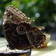 Blue morpho butterfly — Stock Photo #23291984