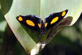 Grecian shoemaker butterfly — Stock Photo