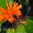 Stock Photo: Doris Longwing Butterfly