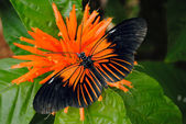 Doris Longwing Butterfly — Stock Photo
