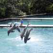 Bottlenose dolphins, jumping — Stock Photo #23320224