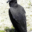 Black Vulture — Stock Photo