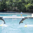 Bottlenose dolphins jumping — Stock Photo #23321022