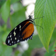 Tiger Longwing — Stock Photo