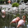 Caribbean flamingos and White ibis — Stock Photo