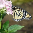 Stock Photo: Monarch butterfly