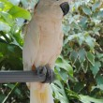 beyaz kakadu — Stok fotoğraf