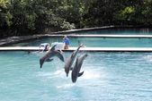 Bottlenose dolphins, jumping — Stock Photo