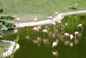 Caribbean flamingos — Stock Photo