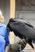 Falconer with a Black Vulture — Stock Photo