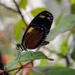 Tiger Longwing Butterfly — Stock Photo #23361160
