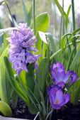 Hyacinth and Crocus — Stock Photo