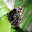 Blue morpho butterfly — Stock Photo #24448655
