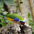 Gouldian Finch - Stock Photo