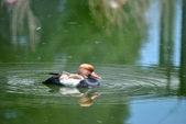 Red-crested Pochard Netta rufina duck — Stock Photo