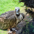 Cinereous Vulture — Stock Photo