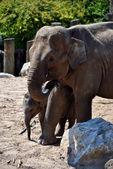 Indian elephants — Stock Photo