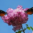 Syringa vulgaris with a Heliconius hecate butterfly — Stock Photo