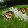 Monarch butterflies — Foto Stock #27164545