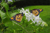 Monarch butterflies — Stock Photo