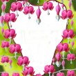 Heart shaped Dicentra Spectabilis flowers — Stock Photo