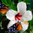 Stock Photo: Hibiscus flower with 2 Heliconius hecate butterflies