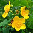 Stock Photo: Hypericum patulum 'Hidcote'