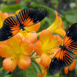 Stock Photo: Tropical Rhododendron simbu sunset flowers with 2 Doris Longwing Butterflies