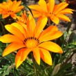 Gazania splendens 'Talent Orange' — Stock Photo