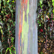 rainbow eucalyptus tree — Stock Photo