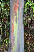 Rainbow Eucalyptus tree — Stock Photo