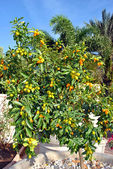 Nagami Kumquat Latin name fortunella margarita — Stock Photo