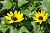 Beach sunflower — Zdjęcie stockowe